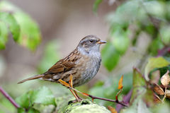 Dunnock or hedge sparrow Royalty Free Stock Photo