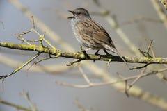 Dunnock or hedge sparrow, Prunella modularis Stock Photos