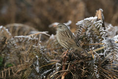 Dunnock or Hedge sparrow, Prunella modularis Royalty Free Stock Images