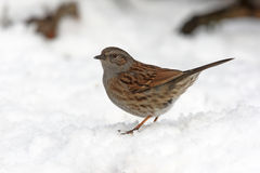 Dunnock or hedge sparrow, Royalty Free Stock Image