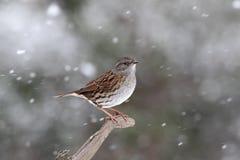Dunnock or hedge sparrow, Prunella modularis Royalty Free Stock Photos