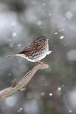 Dunnock or hedge sparrow, Prunella modularis Stock Images