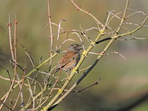 Dunnock or hedgesparrow Royalty Free Stock Photo