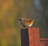 Dunnock House sparrow Stock Photos