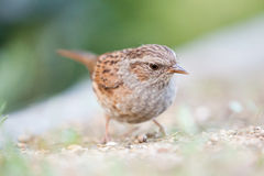 Dunnock. The Dunnock is an inconspicuous bird whose main characteristic gray head and breast. The Hedge is a common breeding bird in the Netherlands, but is very Royalty Free Stock Photography