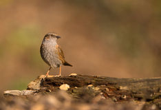Dunnock on a log Stock Photo