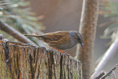 Dunnock. A Dunnock when looking for food Stock Images