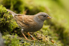 Dunnock, modularis do Prunella Fotografia de Stock Royalty Free