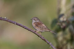 Dunnock, modularis do Prunella Foto de Stock Royalty Free