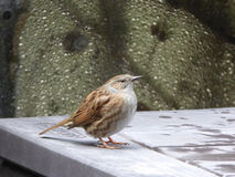 Dunnock - modularis do Prunella Fotografia de Stock Royalty Free