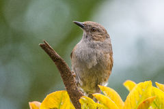 A Dunnock Stock Images