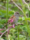 A Dunnock Perched on a Branch. Against a green background stock photos