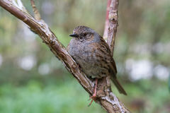 Dunnock perched on a branch Stock Photography