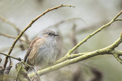 Dunnock perched in a bush Stock Photography