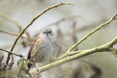 Dunnock perched in a bush Stock Images