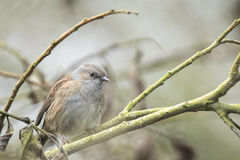 Dunnock perched in a bush Royalty Free Stock Photo