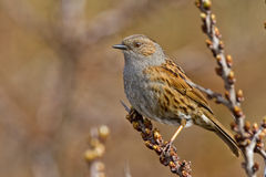 Dunnock portrait Royalty Free Stock Photos