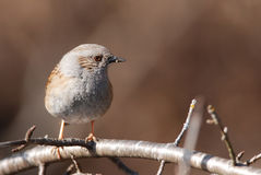 Hedge Sparrow Stock Image
