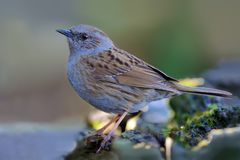 Dunnock stands in wet and shadowy place. Dunnock posing in wet and gloomy environment stock photo