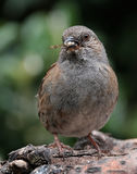 Dunnock with prey. Royalty Free Stock Photography