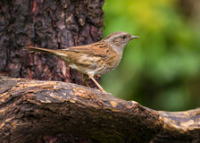 Dunnock (Prunella modularis) Royalty Free Stock Photos