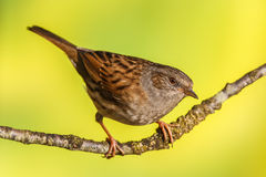 Dunnock, Prunella modularis Stock Photos