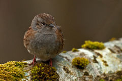 Dunnock Prunella modularis Stock Images