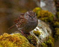 Dunnock Prunella modularis Royalty Free Stock Photography