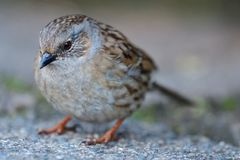Dunnock prunella modularis. Close up portrait of a dunnock in the wild Royalty Free Stock Images