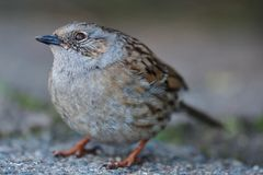 Dunnock prunella modularis. Close up portrait of a dunnock in the wild Royalty Free Stock Image