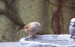 Dunnock - Prunella modularis Royalty Free Stock Images
