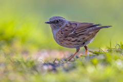 Dunnock Royalty Free Stock Photo