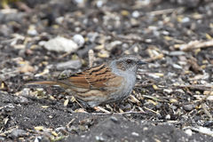 Dunnock (Prunella modularis) Stock Photography