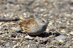 Dunnock (Prunella modularis) Stock Images
