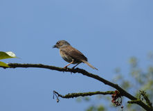 Dunnock - Prunella modularis Royalty Free Stock Photos