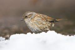 Dunnock, Prunella modularis. Park Birds - Dunnock, Prunella modularis Royalty Free Stock Image