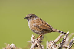 Dunnock Royalty Free Stock Images