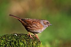 Dunnock bird perched on rock Royalty Free Stock Photography