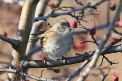The dunnock Prunella modularis. Sits on a bush branch with red rose hips Royalty Free Stock Images