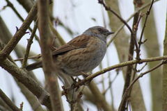 Dunnock Prunella Modularis (sometimes called hedge sparrow) Royalty Free Stock Images