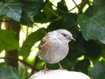 Dunnock - Prunella modularis Stock Photo