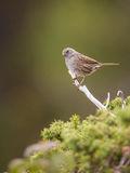 Dunnock ptak Zdjęcie Royalty Free