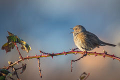 Dunnock singing bird. Dunnock perched on Rubus, singing a morning song Royalty Free Stock Photography