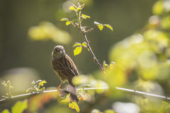 Dunnock singing bird. Dunnock perched on Rubus, singing a morning song Stock Images