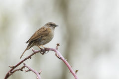 Dunnock singing bird Royalty Free Stock Photo