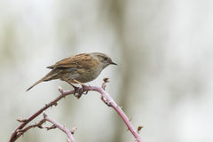 Dunnock singing bird. Dunnock bird, Prunella modularis, perched on Rubus and singing a morning song Royalty Free Stock Images