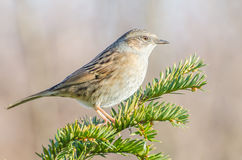 Dunnock. Sitting on a branch stock image