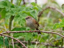 A Dunnock Sitting on a Twig. Against a leafy green background stock photo