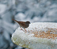 Dunnock on snowy feeder Royalty Free Stock Images
