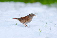 Dunnock standing in Snow Stock Photography